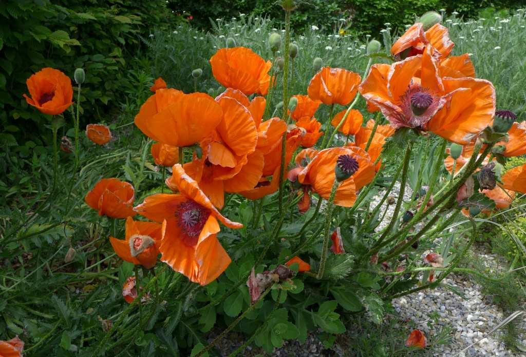 Wie Mohnblumen wachsen und blühen, so verändert sich mein Newsletter - hier ein Update, was alles neu ist!