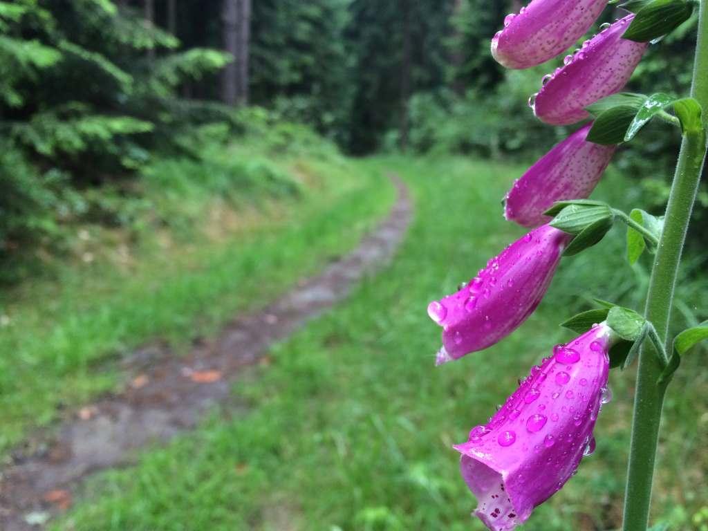 Der Wald im Juni... ein wundervoller Monat mit Vergänglichem, was man in jedem Jahr wiederfindet. Foto: Susanne Schneider.