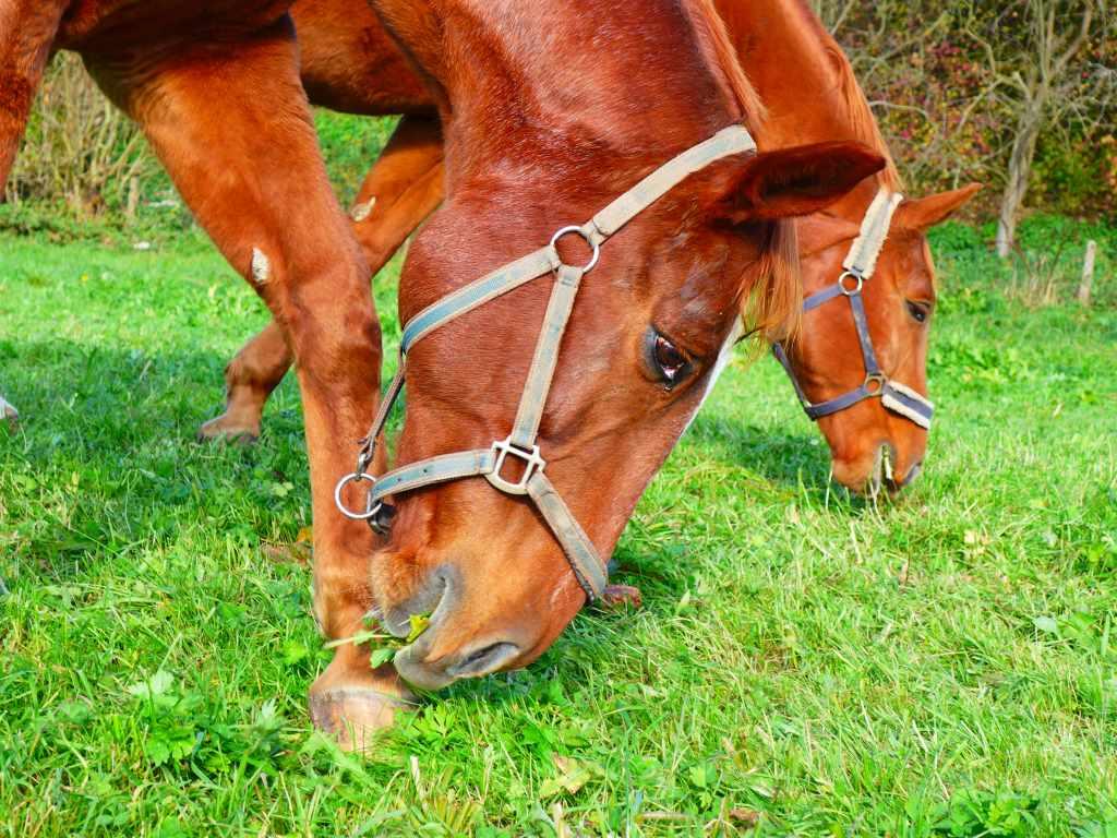 Pferde grasen, Kopfausschnitt.