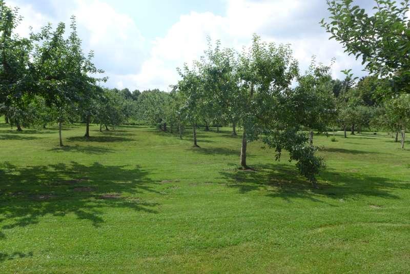 Blick in den historischen Obstgarten der Schlossanlage Schleißheim Ende Juli. Apfelbäume in Reih und Glied. Tweetwalk #Lustwandeln