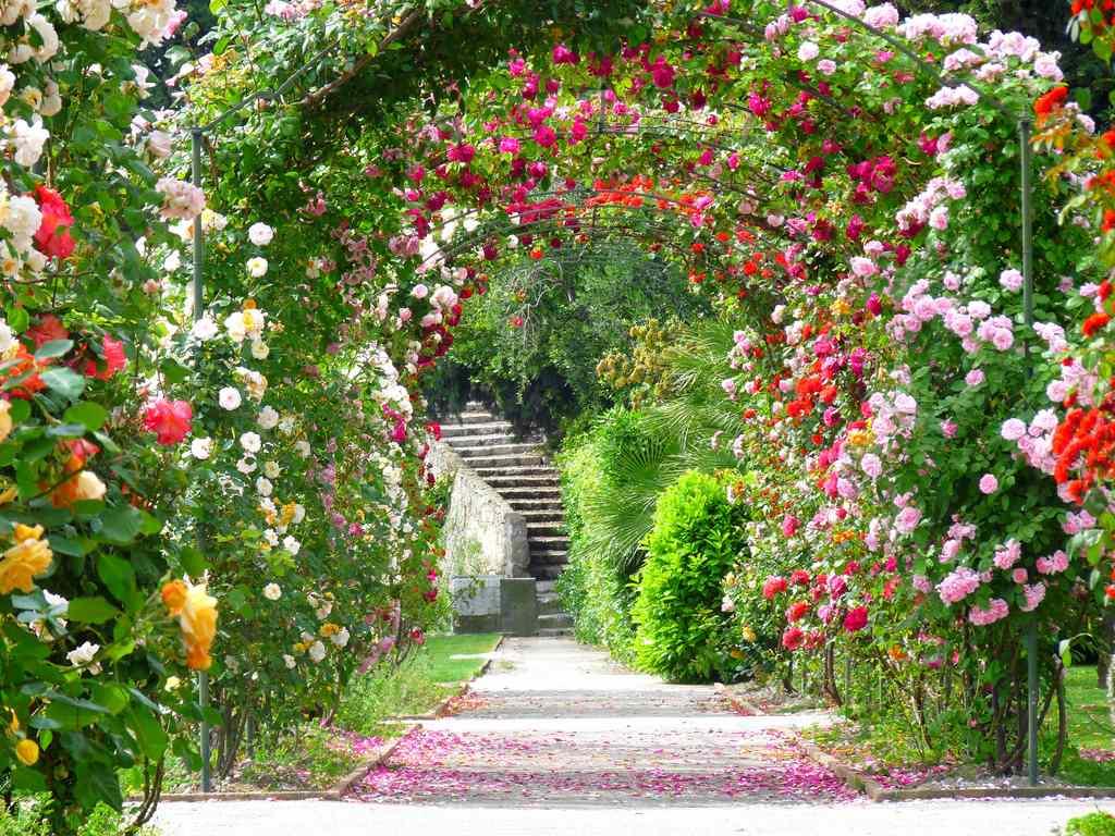 Klostergarten Cimiez - Rosenlaubgang in voller Blüte. Lustwandeln
