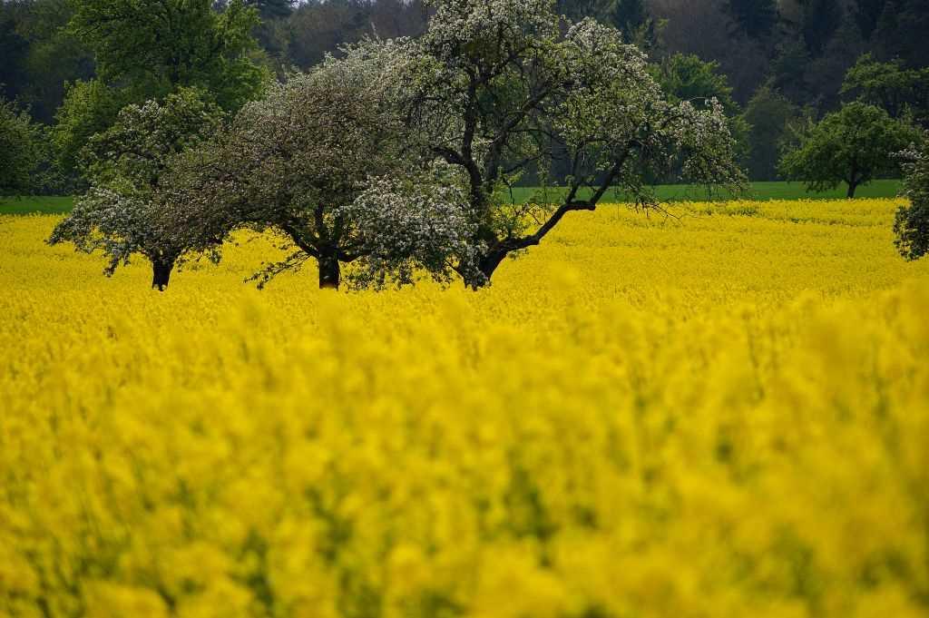 Gelbes Rapsfeld mit Blick in den Wald im Odenwald