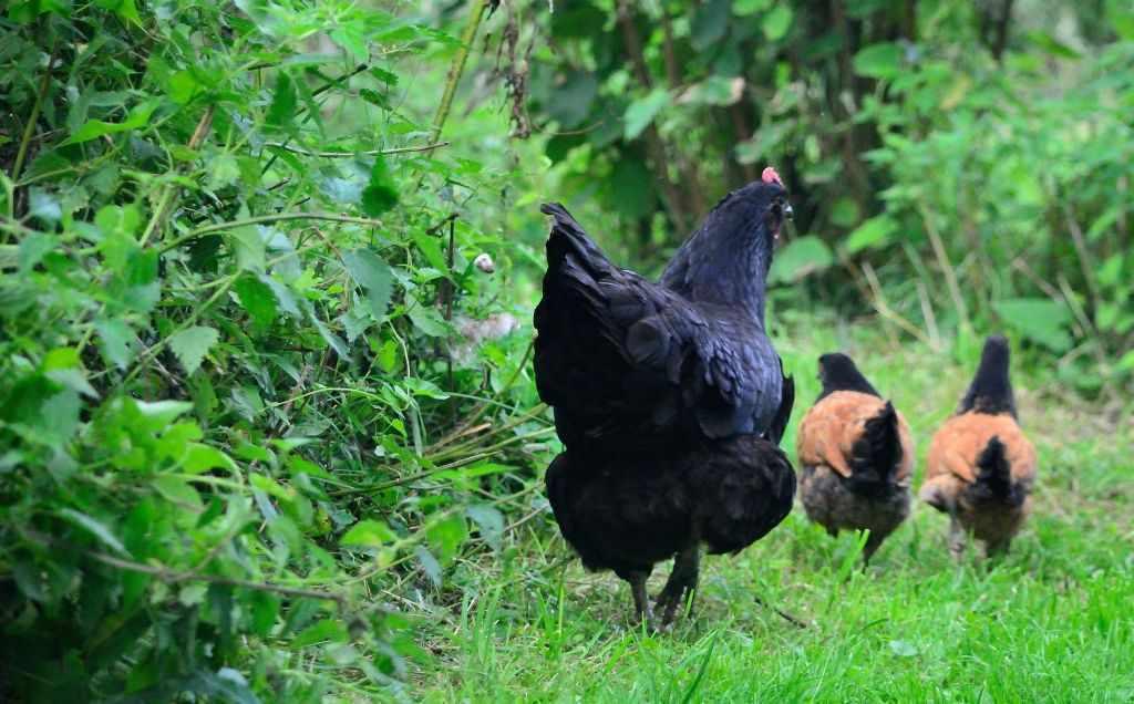 Im grünen stolzieren Hahn und Hennen davon, noch nicht ahnend, dass der Fuch sie bald holen kommt. Geschichten aus dem Odenwald