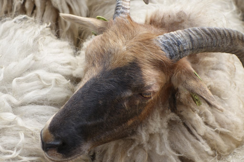 Schaf, noch ungeschoren