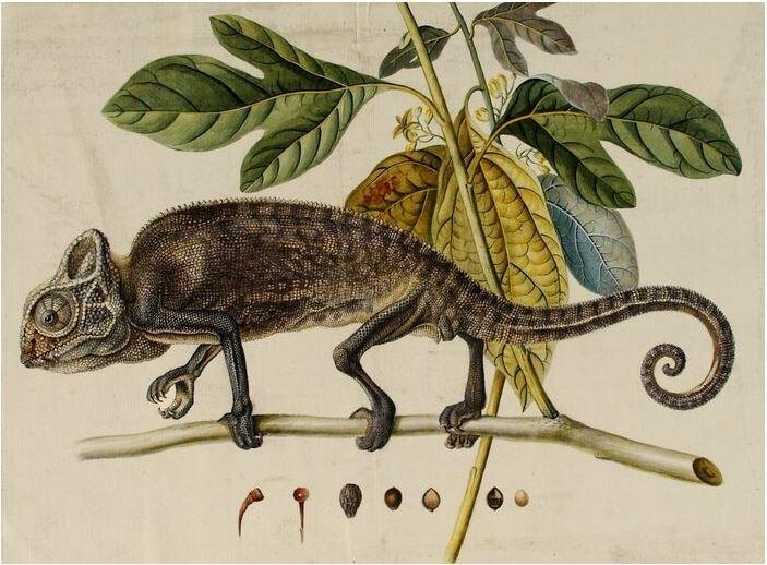 Das Chamäleon weckte mein Interesse an der Zoologischen Sammlung der Universitätsbibliothek der Friedrich-Alexander-Universität Erlangen-Nürnberg bereits via Twitter.